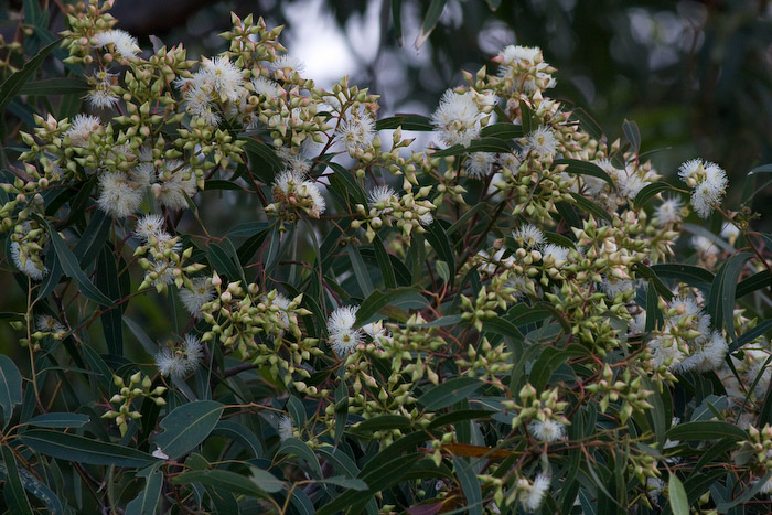 Jewels Eucalypt flower